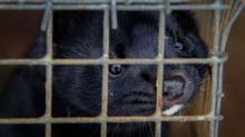 Netherlands to shut down entire mink farming industry by next March over coronavirus outbreaks