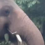 Elephant leaves zoo for better conditions at sanctuary in Cambodia