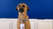 #GoodNews: Good boi doggo becomes employee in car showroom