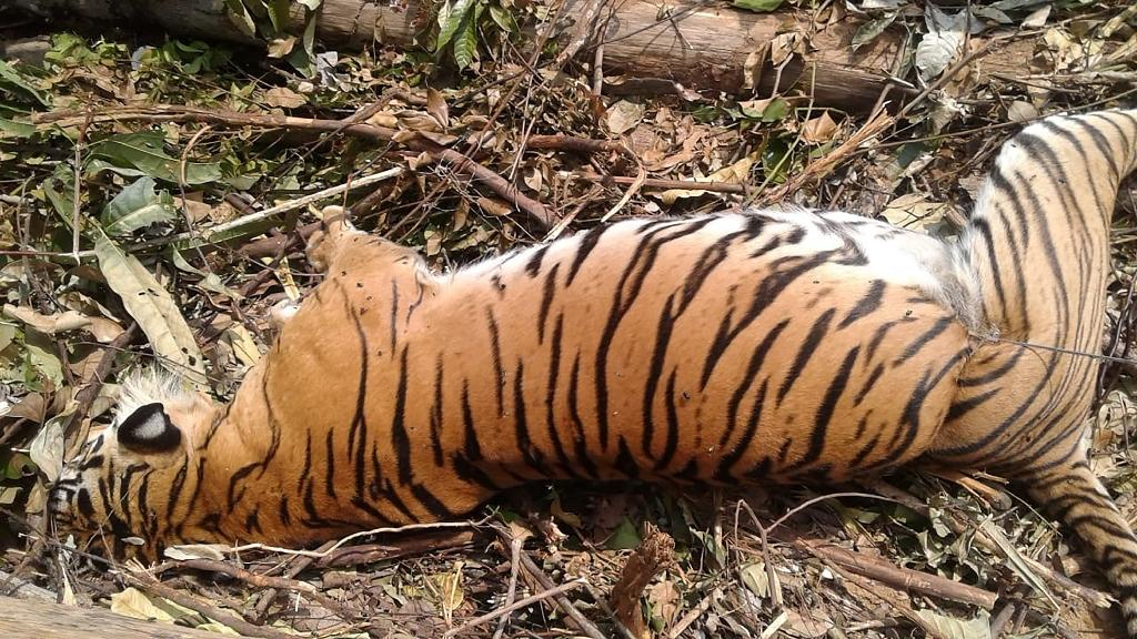 The carcass of a critically endangered Sumatran tiger which died after being caught in a pig trap near Pekanbaru on the island of Sumatra (AFP Photo/Wahyudi)