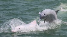 Hong Kong Airport Authority, conservation department urged to work together on white dolphins after disparate data