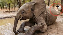 DNA solves mystery of lost elephant who made friends with goat