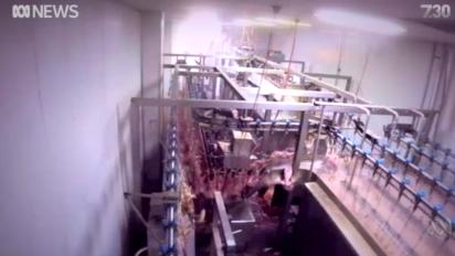 Denuncian crueldad en un matadero de pollos
