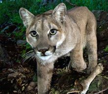 Cougar kills mountain biker and wounds another in Washington state