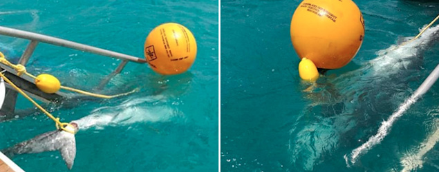 Culling of tiger sharks after Whitsundays attack sparks heated debate