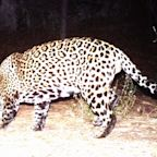 One Of The Only Wild Jaguars Known To Roam The U.S. Is Believed To Have Been Killed