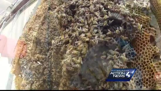 Giant beehive found behind collapsed wall at Penn Brewery