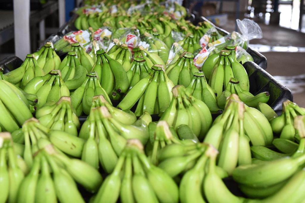 Ivory Coast and is second to Cameroon as Africa's biggest exporter of the fruit (AFP Photo/Issouf Sanogo )