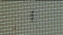 Chikungunya Virus Cases Reported in the U.S.