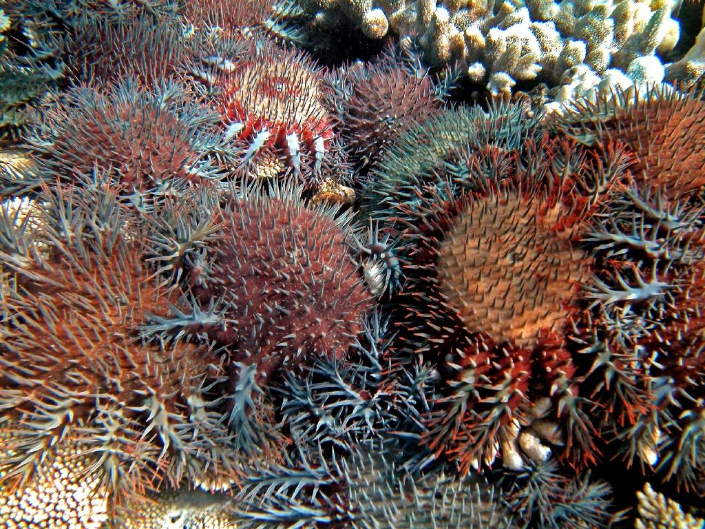 The coral-eating starfish are naturally occurring but have proliferated due to pollution and agricultural run-off (AFP Photo/KATHARINA FABRICIUS)