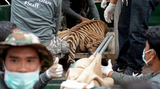 WWF calls for crack down on 'tiger farms'