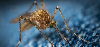 Detectan combinación mortal de dos virus transmitidos por mosquitos