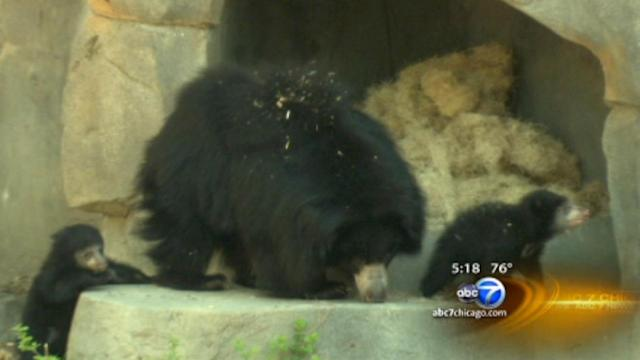 Sloth bear cubs make their debut at Brookfield Zoo