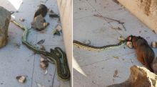 'What is wrong with people?': Snake catcher's anger after cruel act kills python eating possum