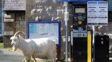 Cabras en una ciudad fantasma: los animales se toman un desierto balneario galés