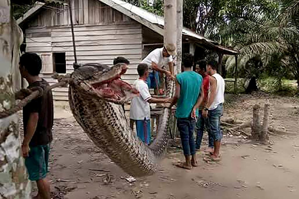 Villagers stand beside the 7.8 metre (25.6 foot) long python which was killed after it attacked an Indonesian man, nearly severing his arm, in the remote Batang Gansal subdistrict of Sumatra island (AFP Photo/HANDOUT)