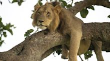 Wildlife photographer captures amazing images of lions having a nap - in the branches of a tree