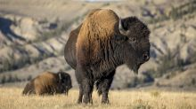 Bull bison tosses girl, 9, at Yellowstone after reportedly being crowded in: 'Maybe leave wild animals alone'