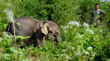 Baby elephant rescued near Indonesian palm oil plantation