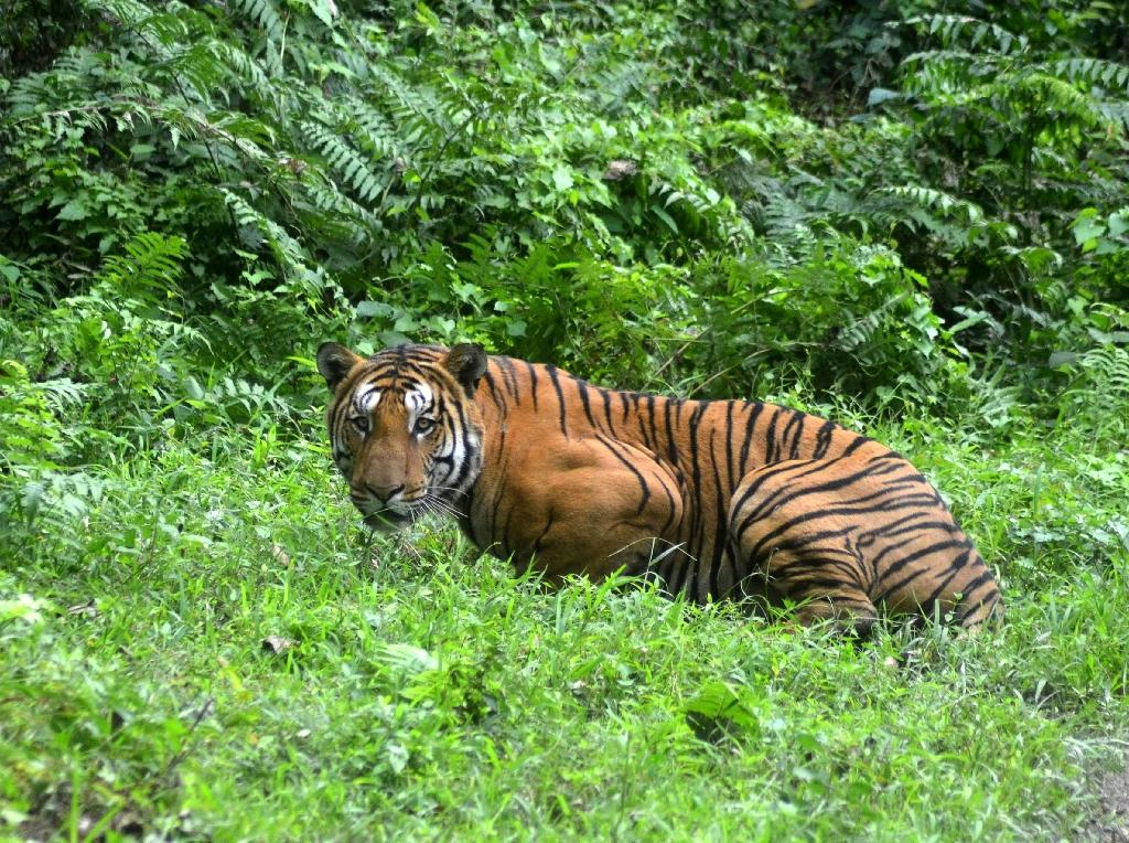 India is home to more than half of the world's tiger population, with 2,226 of the animals roaming its reserves, according to the last count in 2014 (AFP Photo/STR)