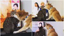 【有片】日本喵星人遇熱情柴犬 「俾我睇陣電視啦!」