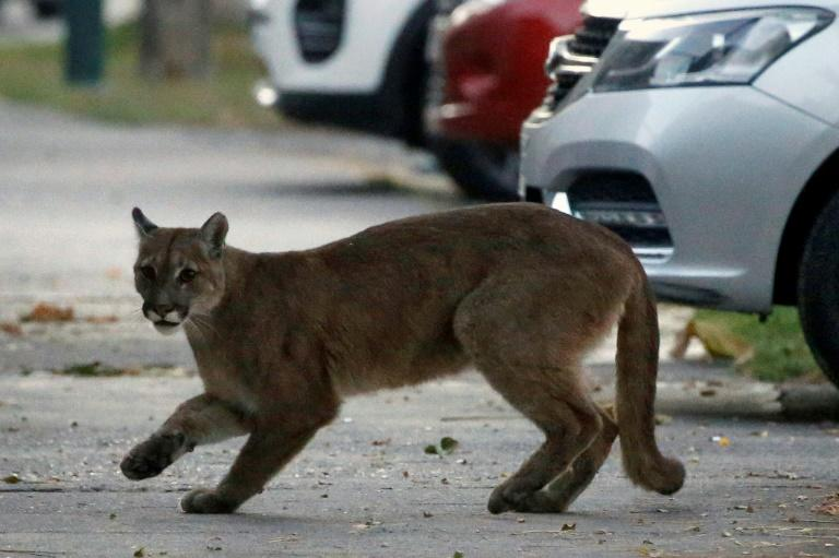 The approximately one-year-old puma came down to Santiago from nearby surrounding hills in search of food