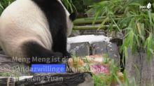 Berliner Pandadame Meng Meng lässt sich zum 7. Geburtstag eine Torte schmecken