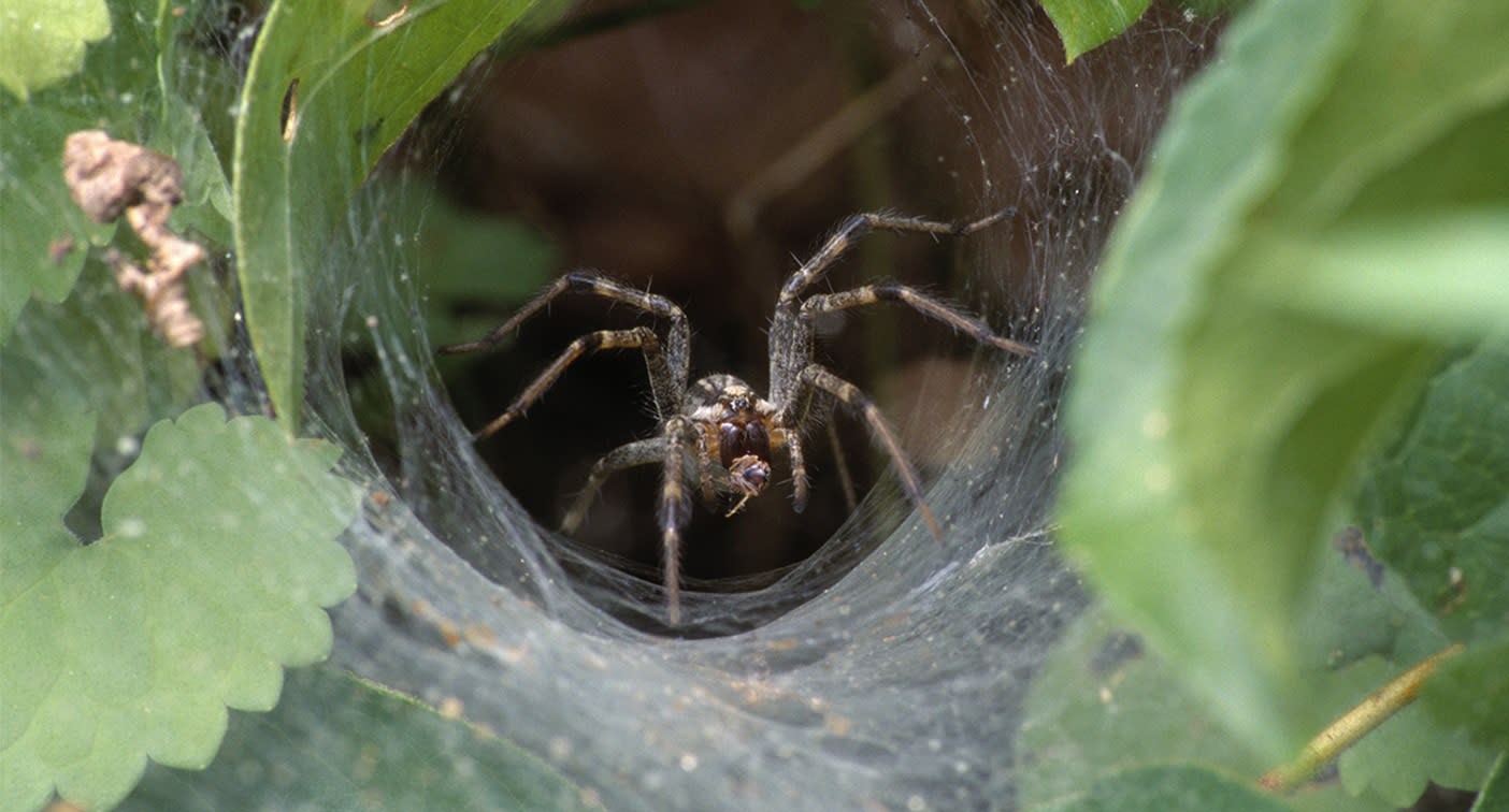 Heavy rain sees influx of deadly funnel-web spiders