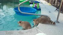 Raccoon tries to save his brother from pool
