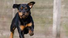 Bambino sbranato da rottweiler: morto per estrema perdita di sangue