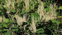 House hunters urged to be extra vigilant for signs of Japanese knotweed
