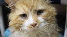 Gato anda quase 20 quilômetros para voltar para casa da família que o abandonou