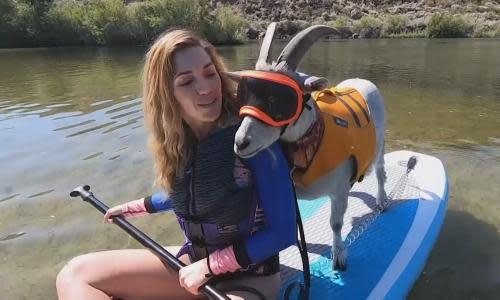 Mr Mayhem, the paddleboarding goat, makes a splash