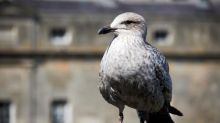 Is it wise to take parenting lessons from seagulls?