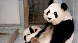 Double joy as mother of only giant panda twins in U.S. pregnant again