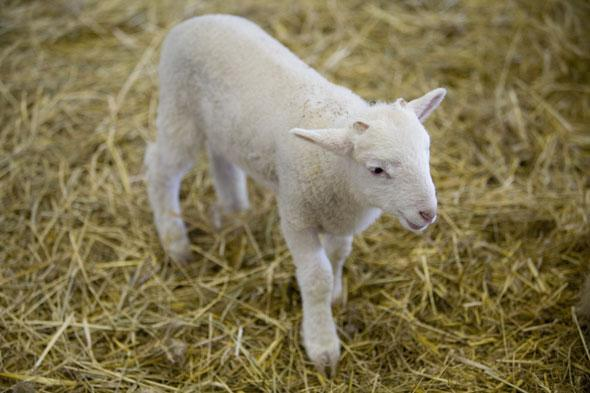 """<p> """"Newborn lambs are emerging on unsteady legs at farms all over the country,"""" says Matthew.</p> <p> <strong>Top viewing spot: </strong>Wimpole Estate, Cambridgeshire. Thisworking estate is still guided by the seasons and brims with new life in spring as lambing season arrives. With a substantial collection of rare breeds, Home Farm sees the arrival of approximately 300 new born lambs each year.</p> <p> <strong>See more spring newborns at:</strong>Brockhampton Estate, Herefordshire;Scotney Castle, Kent;Llanerchaeron, Ceredigion.</p>"""
