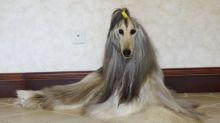 Homem gasta mais de R$ 54 mil para manter os pelos de seu cachorro impecáveis