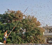 Indian drones pursue locusts as swarms destroy swathes of crops