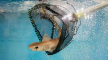 Endangered shark meat is being sold in UK chip shops