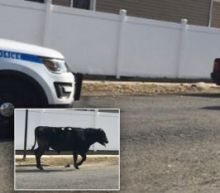 Bull on The Run! Cow Leads Police on Hours-Long Chase to Escape Slaughterhouse