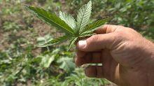 Cannabis thérapeutique : l'avis très attendu de l'ANSM