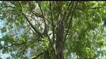 Trees show distress almost year after drought
