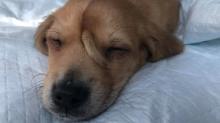 Cachorrinho com rabo na testa é resgatado nos Estados Unidos