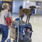Delta Airlines Bans Pit Bull-Type Service and Emotional Support Dogs from All Flights