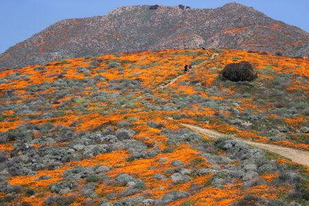 A super bloom of poppies is seen in Lake Elsinore, California, U.S., February 27, 2019. REUTERS/Lucy Nicholson