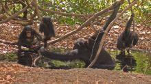 Savannen-Schimpansen leiden unter Hitze-Stress
