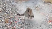 VIDÉO - Etats-Unis : un joggeur poursuivi par un puma pendant six minutes