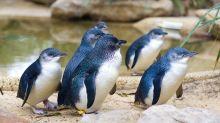 Pinguin-Bild mit rührender Geschichte