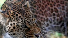 Time for 'Project Leopard' in India? Report on poaching in Uttarakhand points to officials' connivance, raises alarm