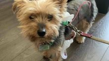 $33,000 raised for Toronto dog who saved child from coyote attack, enduring extensive injuries